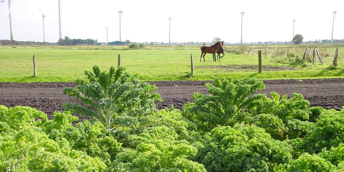 Los agricultores de la col rizada proporcionan folato natural a la gente